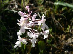 Orchis-anatolica